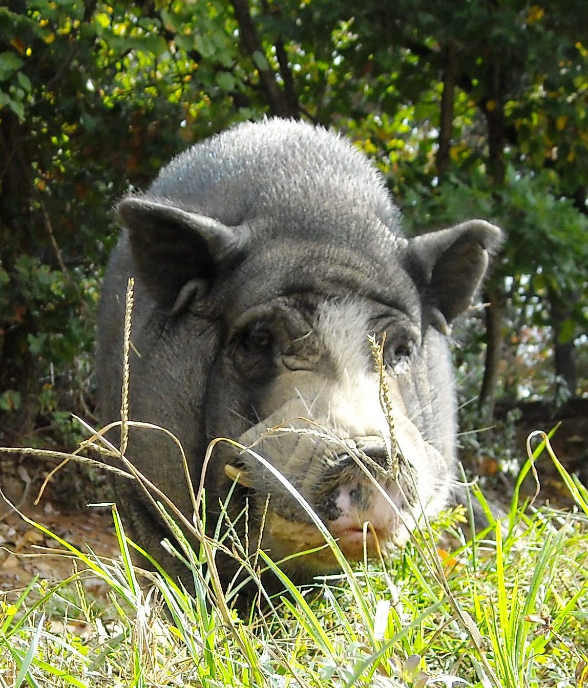the aging pig